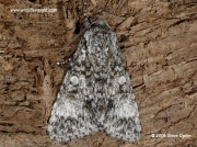 2278 Poplar Grey moth (Acatecronicta megacephala) © 2006 Steve Ogden