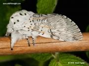 1995 Puss Moth (Cerura vinula)