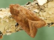 2361 Rosy Rustic (Hydraecia micacea)