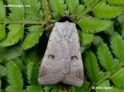 2467 - Scarce-Blackneck-moth-Lygephila-craccae