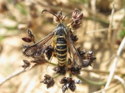 0382 Six-belted Clearwing (Bembecia ichneumoniformis)