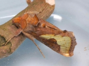 2433 Slender Burnished Brass (Thysanoplusi orichalcea) reared from imported mint