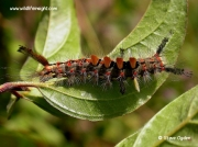The Vapourer Moth caterpillar (Orgyia antiqua) © 2005 Steve Ogden