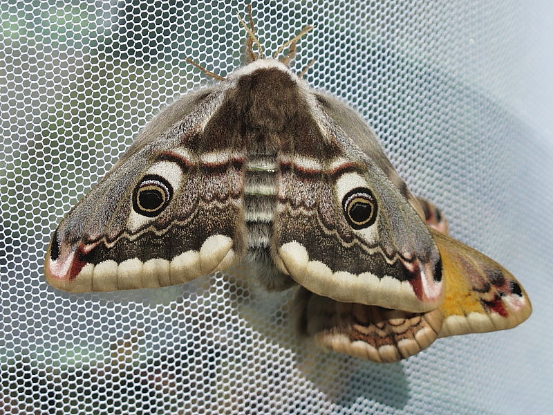 Emperor Moth (Saturnia pavonia) - mating
