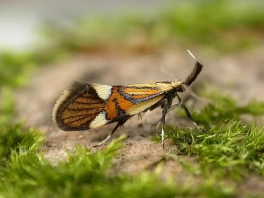 0652 Alabonia geoffrella