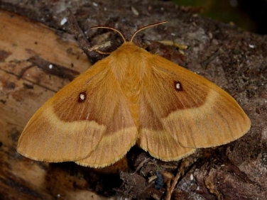 1637 Oak Eggar (Lasiocampa quercus) - female