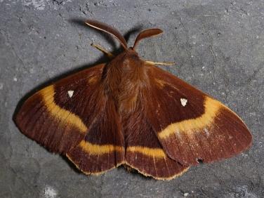 1637 Oak Eggar (Lasiocampa quercus) - male
