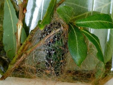 1643Emperor Moth (Saturnia pavonia) - pupating