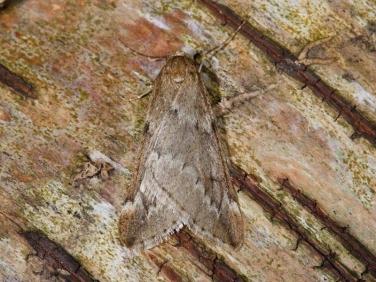 1663 March Moth (Alsophila aescularia)