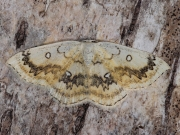1676 The Mocha (Cyclophora annularia)