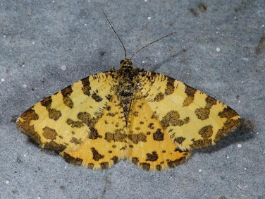 1909 Speckled Yellow (Pseudopanthera macularia)