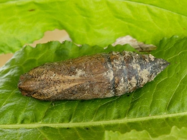 1976 Privet Hawk-moth (Sphinx ligustri) - pupa