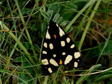 2058 Cream-spot Tiger (Arctia villica)