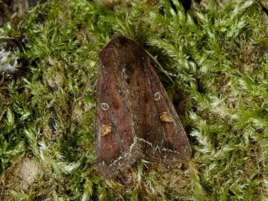 2160 Bright-line Brown-eye (Lacanobia oleracea)