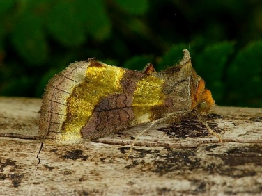 2434 Burnished Brass (Diachrysia chrysitis)