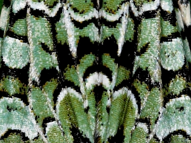 moth scales illustrated by Merveille du Jour (Dichonia aprilina)