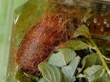 1643 Emperor Moth (Saturnia pavonia) - pupa