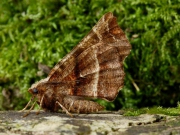 1917 Early Thorn (Selenia dentaria)