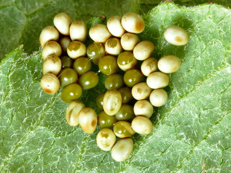 Emperor Moth (Saturnia pavonia) batch of eggs © Steve Ogden