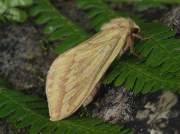 0014 Ghost Moth (Hepialus humuli) - female