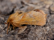 0015 Orange Swift (Hepialus sylvina)