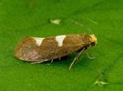 0130 Incurvaria masculella - female