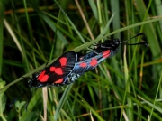 0170 Five-spot Burnet (Zygaena trifolii) male and female mating