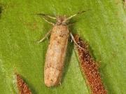 0251 Ochsenheimeria taurella