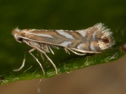 0315 Phyllonorycter species
