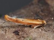 0435 Zelleria hepariella