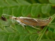 0453 Honeysuckle Moth (Ypsolopha dentella)