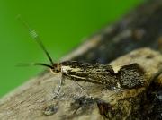 0649 Esperia sulphurella