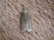 0666 Semioscopis avellanella