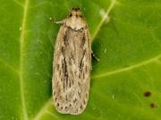 0672 Parsnip Moth (Depressaria heraclei)