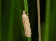 0786 Bryotropha species