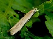 0898 Limnaecia phragmitella