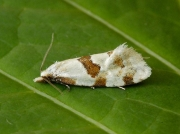 0945 Aethes cnicana
