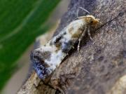 0954 Eupoecilia angustana