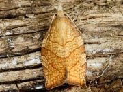 0969 Chequered Fruit-tree Tortrix (Pandemis corylana)