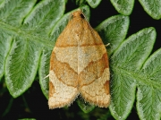 0970 Barred Fruit-tree Tortrix (Pandemis cerasana)