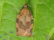 0972 Dark Fruit-tree Tortrix (Pandemis heparana)