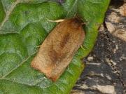 0985 Carnation Tortrix (Cacoecimorpha pronubana)