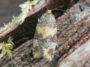 0987 Ptycholomoides aeriferanus