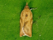 0998 Light Brown Apple Moth (Epiphyas postvittana)