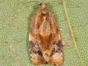 1010 Red-barred Tortrix (Ditula angustiorana)