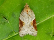 1039  Strawberry Tortrix (Acleris comariana)
