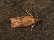1043 Acleris aspersana