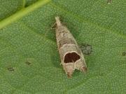 1175 Bramble Shoot Moth (Epiblema uddmanniana)
