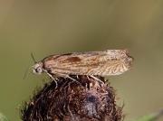 1200 Eucosma hohenwartiana