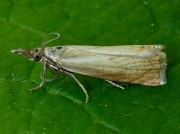 1293 Chrysoteuchia culmella - pale form